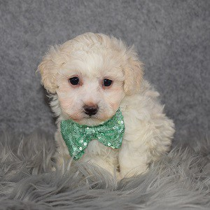 Maltipoo Puppy For Sale – Daniel, Male – Deposit Only