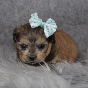 Teddypoo Puppy For Sale – McKenna, Female – Deposit Only