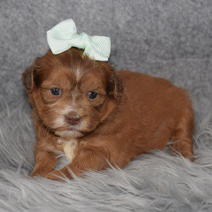 Teddypoo Puppy For Sale – McPherson, Female – Deposit Only