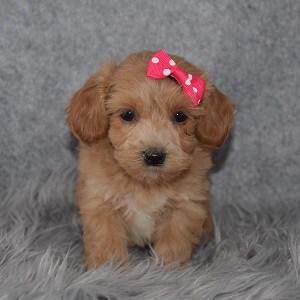 Maltipoo Puppy For Sale – Rachel, Female – Deposit Only