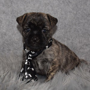 Pugland Puppy For Sale – Astro, Male – Deposit Only
