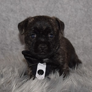Pugland Puppy For Sale – Cosmo, Male – Deposit Only
