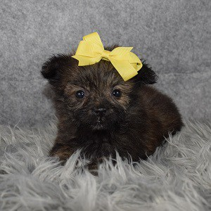 Private: Shih Pom Puppy For Sale – Ellie, Female – Deposit Only