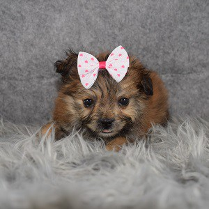 Shih Pom Puppy For Sale – Emma, Female – Deposit Only