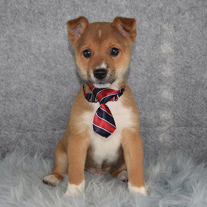 Shiba-Ranian Russell Puppy For Sale – Finley, Male – Deposit Only