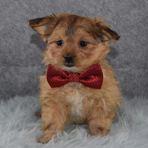 Shih Pom Puppy For Sale – Pax, Male – Deposit Only