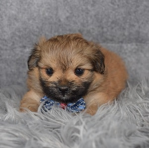 Shih Pom Puppy For Sale – Ransom, Male – Deposit Only