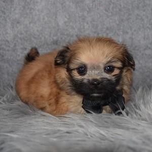 Shih Pom Puppy For Sale – Sawyer, Male – Deposit Only