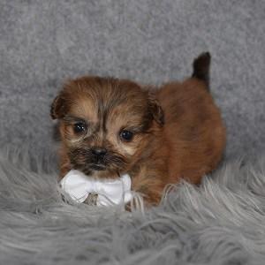 Shih Pom Puppy For Sale – Sidney, Male – Deposit Only