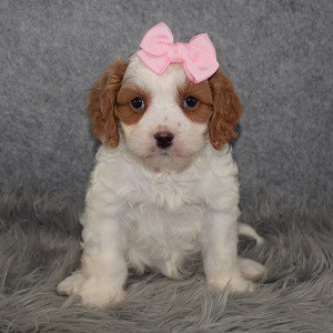 Cavapoo Puppy For Sale – Jasmine, Female – Deposit Only