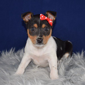 Toy Smooth Fox Terrier Puppy For Sale – Moondust, Female – Deposit Only