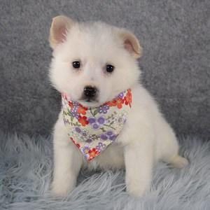 American Eskimo Puppy For Sale – Sansa, Female – Deposit Only