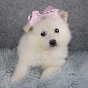 American Eskimo Puppy For Sale – Sasha, Female – Deposit Only