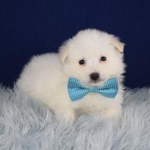 American Eskimo Puppy For Sale – Schatzi, Male – Deposit Only