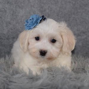 Maltichon Puppy For Sale – Ellen, Female – Deposit Only