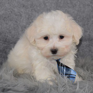 Maltichon Puppy For Sale – Ethan, Male – Deposit Only