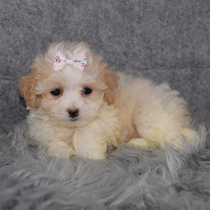 Maltipoo Puppy For Sale – Gala, Female – Deposit Only