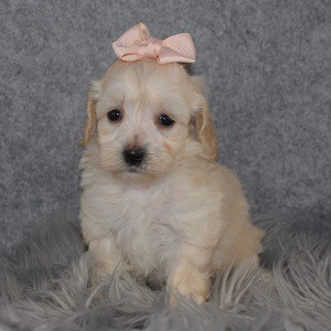 Maltipoo Puppy For Sale – Hayleigh, Female – Deposit Only