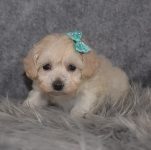 Maltipoo Puppy For Sale – Jazz, Female – Deposit Only