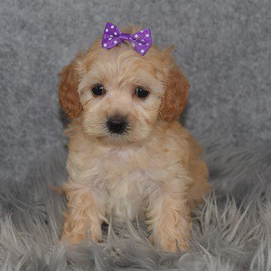 Maltipoo Puppy For Sale – Kyleigh, Female – Deposit Only