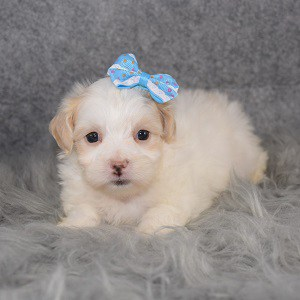 Maltipoo Puppy For Sale – Mila, Female – Deposit Only