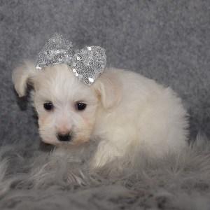 Maltichon Puppy For Sale – Ocean, Female – Deposit Only