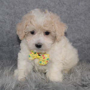Maltipoo Puppy For Sale – Party, Male – Deposit Only