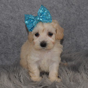 Maltipoo Puppy For Sale – Ryleigh, Female – Deposit Only