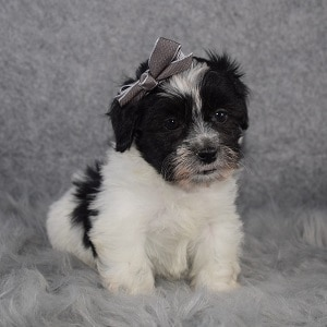Shichon Puppy For Sale – Baylee, Female – Deposit Only