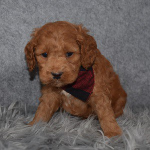 Cockapoo Puppy For Sale – Benedict, Male – Deposit Only