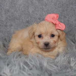 Shichon Puppy For Sale – Bonnie, Female – Deposit Only