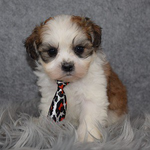 Shichon Puppy For Sale – Burgundy, Male – Deposit Only