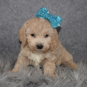 Cockapoo Puppy For Sale – Cappuccino, Female – Deposit Only