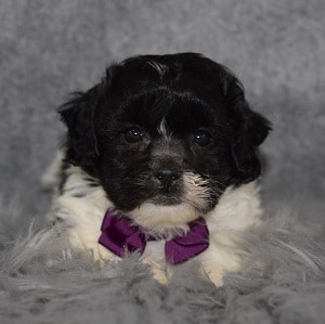 Shichon Puppy For Sale – Chase, Male – Deposit Only
