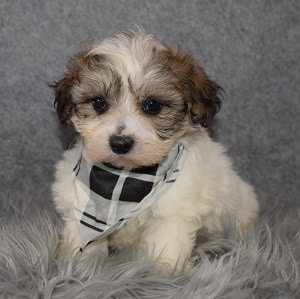 Shichon Puppy For Sale – Cobalt, Male – Deposit Only