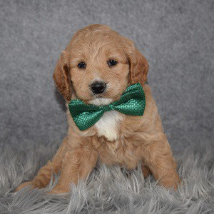 Cockapoo Puppy For Sale – Coffee, Male – Deposit Only