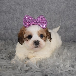 Shichon Puppy For Sale – Esmerelda, Female – Deposit Only