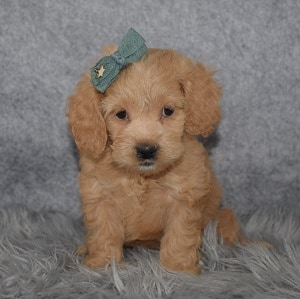 Cockapoo Puppy For Sale – Faith, Female – Deposit Only