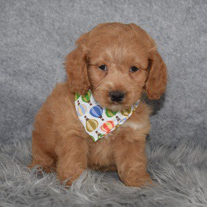 Cockapoo Puppy For Sale – Frankie, Male – Deposit Only