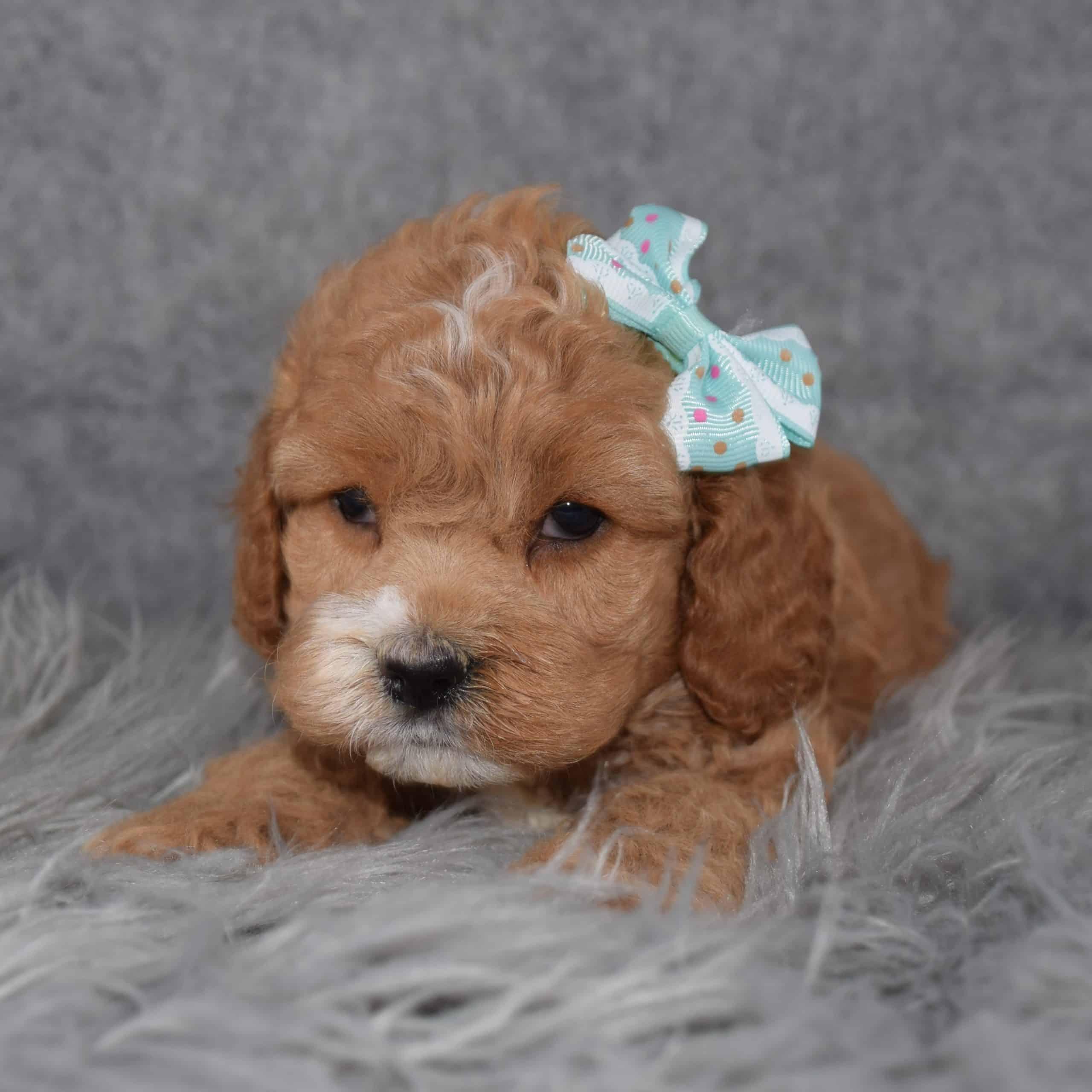 Female Cockapoo Puppy For Sale Georgia | Puppies For Sale ...