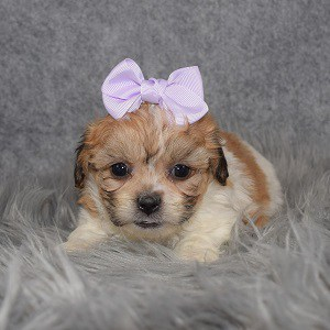 Shichon Puppy For Sale – Inez, Female – Deposit Only