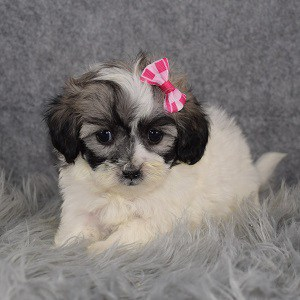 Shichon Puppy For Sale – Kylie, Female – Deposit Only