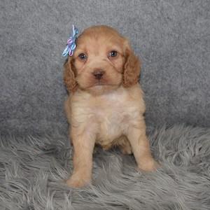 Cockapoo Puppy For Sale – Lark, Female – Deposit Only