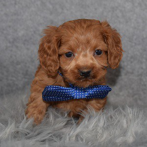 Cockapoo Puppy For Sale – Loki, Male – Deposit Only