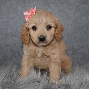 Cockapoo Puppy For Sale – Macchiato, Female – Deposit Only