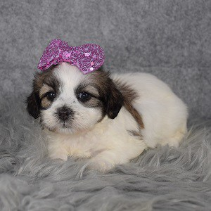 Female Shichon Puppy For Sale Madeline Puppies For Sale In Pa Ny Nj