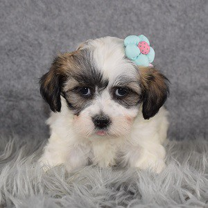 Shichon Puppy For Sale – Nellie, Female – Deposit Only