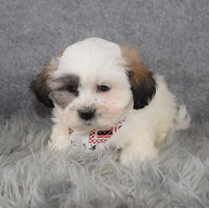 Shichon Puppy For Sale – Nelson, Male – Deposit Only