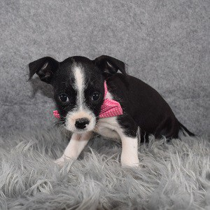Miniboz Puppy For Sale – Neptune, Male – Deposit Only