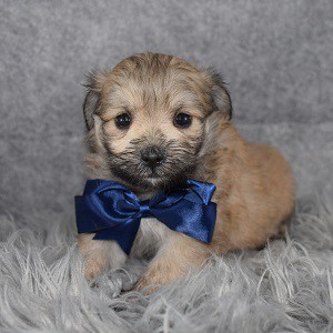 Shih Pom Puppy For Sale – Remmy, Male – Deposit Only